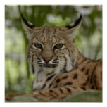 Lince 2_11x11 poster
