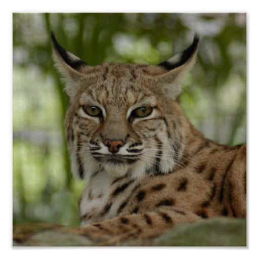 Lince 2_11x11 posters