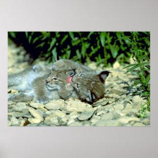 Lince eurasiático el jugar joven de los gatitos impresiones