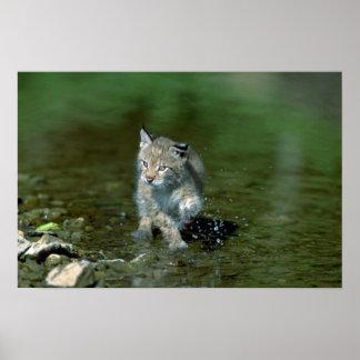 Lince eurasiático gatito joven que juega en agua impresiones