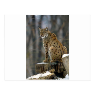Lince eurasiático (lince del lince) 3 postales