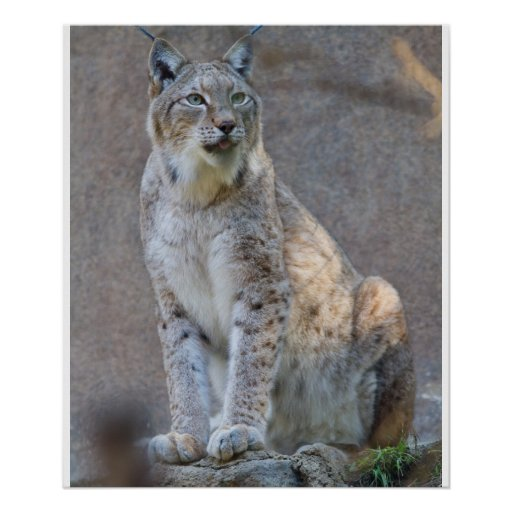 Lince Póster