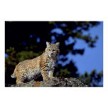 Lince Posters