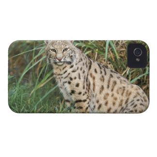 Lince (rufus del Felis) iPhone 4 Case-Mate Fundas