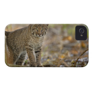 Lince, rufus del Felis, humedales de Carcasa Para iPhone 4 De Case-Mate