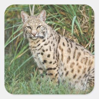 Lince (rufus del Felis) Pegatina Cuadradas Personalizada