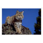 Lince skylined posters