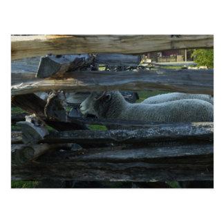 Lincoln Log Cabin Sheep Postcard