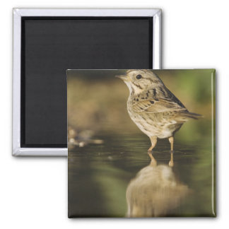 Lincoln's Sparrow, Melospiza lincolnii, adult 2 2 Inch Square Magnet