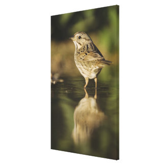 Lincoln's Sparrow, Melospiza lincolnii, adult 2 Canvas Print