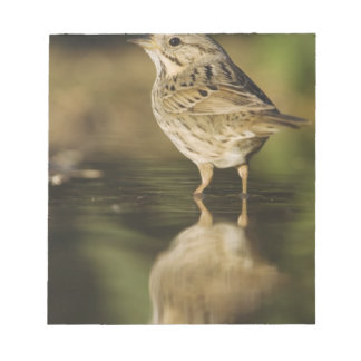 Lincoln's Sparrow, Melospiza lincolnii, adult 2 Notepads