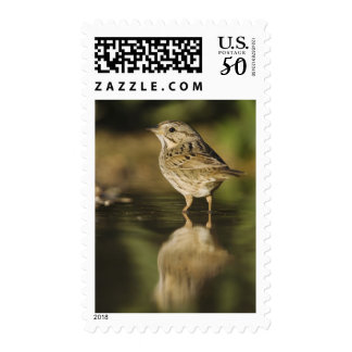 Lincoln's Sparrow, Melospiza lincolnii, adult 2 Postage