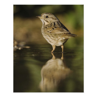 Lincoln's Sparrow, Melospiza lincolnii, adult 2 Poster
