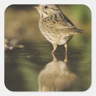 Lincoln's Sparrow, Melospiza lincolnii, adult 2 Square Sticker