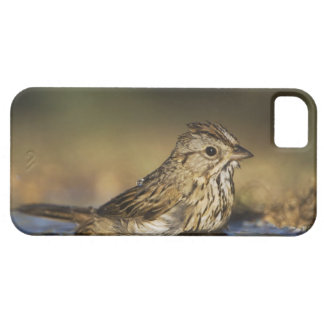 Lincoln's Sparrow, Melospiza lincolnii, adult iPhone 5 Cases