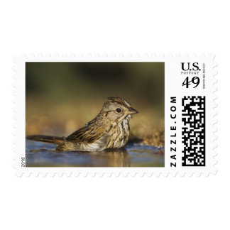 Lincoln's Sparrow, Melospiza lincolnii, adult Postage