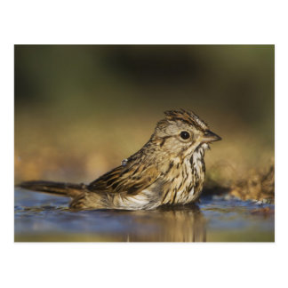 Lincoln's Sparrow, Melospiza lincolnii, adult Postcard