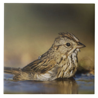 Lincoln's Sparrow, Melospiza lincolnii, adult Tile