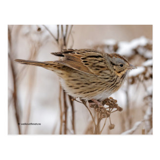 Lincoln's Sparrow on Tansy Postcard