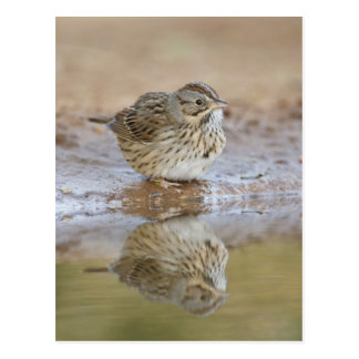 Lincoln's Sparrow reflected in ranch pond Postcard