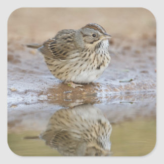 Lincoln's Sparrow reflected in ranch pond Square Sticker