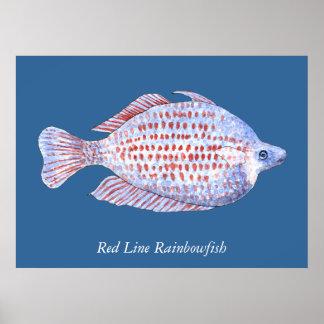 Línea roja Rainbowfish. Pintura de la acuarela Póster