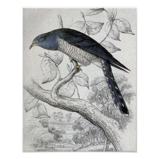 Lineated Cuckoo Vintage Bird Illustration Poster