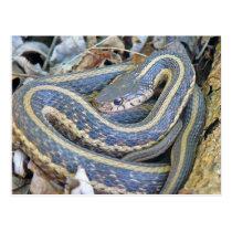 Lined Snake. Postcard