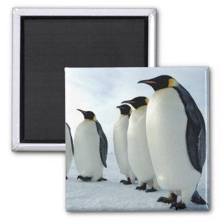 Lined up Emperor Penguins 2 Inch Square Magnet