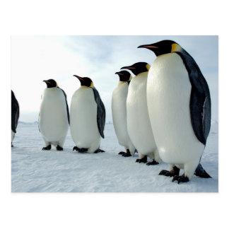 Lined up Emperor Penguins Post Card