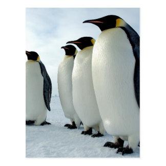 Lined up Emperor Penguins Postcard