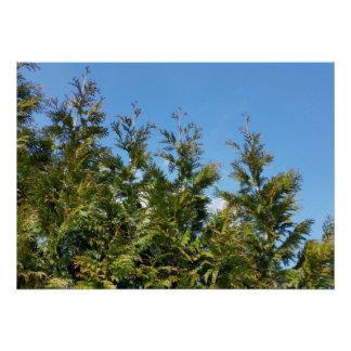 Lined up Thuja trees Poster