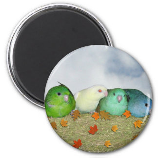 Lineolated parakeets magnet
