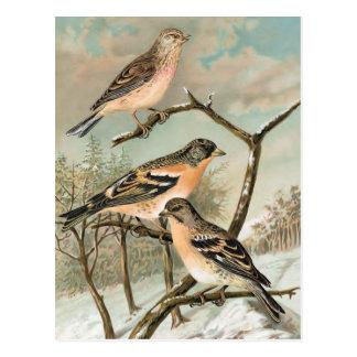 Linnet and Brambling Vintage Bird Illustration Postcard