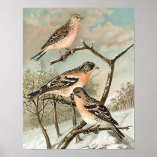 Linnet and Brambling Vintage Bird Illustration Poster