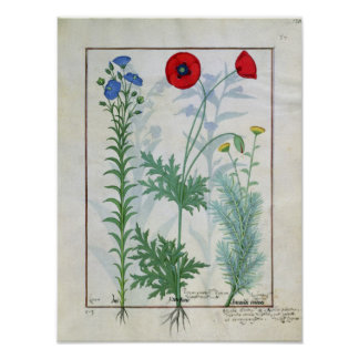 Linum, Garden poppies and Abrotanum Poster
