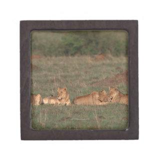 Lion 4 gift box