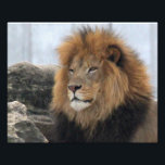 "Lion 6880 photo print<br><div class=""desc"">The lion (Panthera leo) is the second-largest living cat after the tiger.  It is listed as Vulnerable on the IUCN Red List,  as populations in African range countries have declined.</div>"