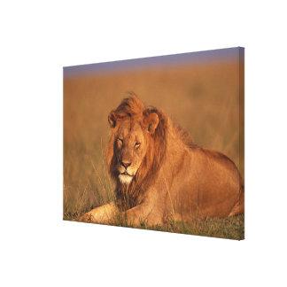 Lion 8 canvas print
