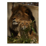Lion and cub in the grass postcard