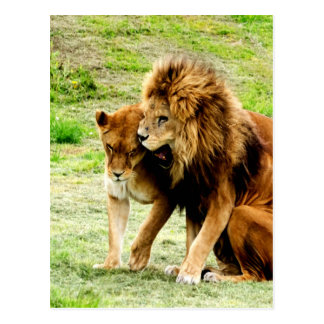 lion and lioness mom love postcard