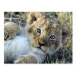 Lion bebé tarjetas postales