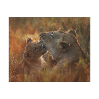Lion cub aged about 12 months playing canvas print