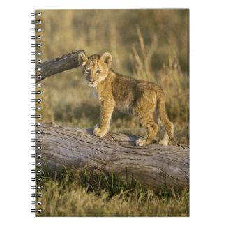Lion cub on log, Panthera leo, Masai Mara, Kenya Spiral Note Book