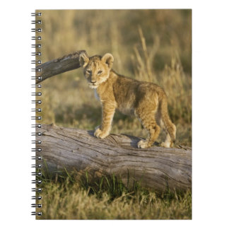 Lion cub on log, Panthera leo, Masai Mara, Kenya Notebook