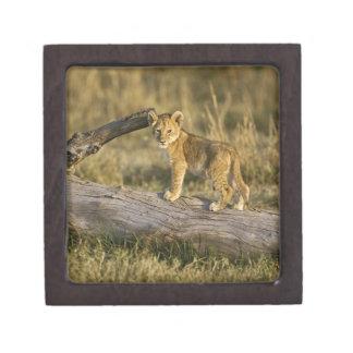 Lion cub on log, Panthera leo, Masai Mara, Kenya Premium Jewelry Box