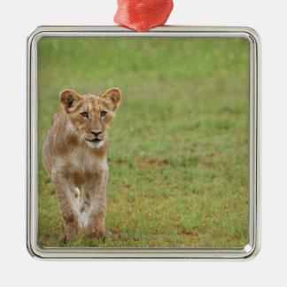 lion cub, Panthera leo, Kgalagadi Transfrontier Metal Ornament