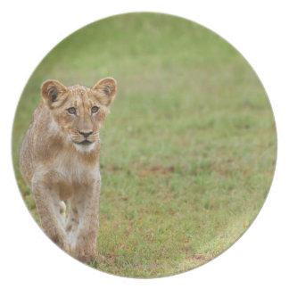 lion cub, Panthera leo, Kgalagadi Transfrontier Plate