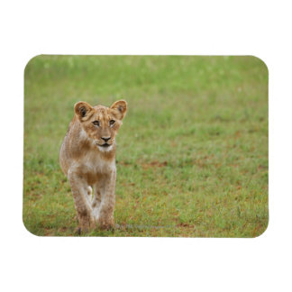 lion cub, Panthera leo, Kgalagadi Transfrontier Rectangular Photo Magnet
