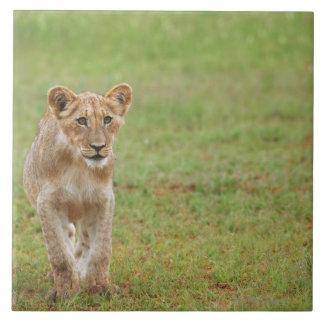 lion cub, Panthera leo, Kgalagadi Transfrontier Large Square Tile